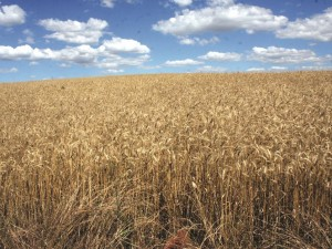 Lavoura de trigo na região da grande Getúlio Vargas (Copy)