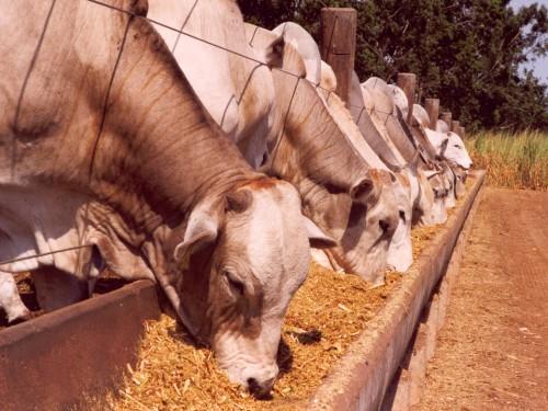 gado-de-corte-confinamento-portal-agropecuario