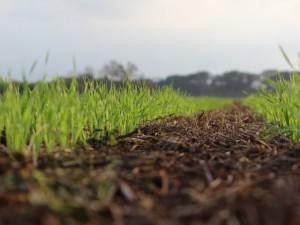 trigo plantio