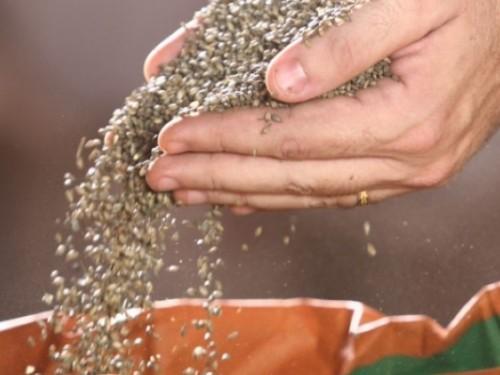 sementes gaurama